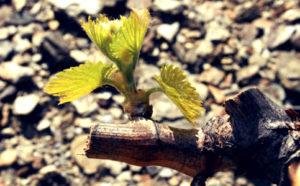 le secret des marchands et la printemps, les bourgeons