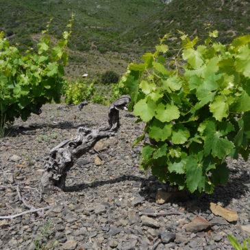 De 3 à 6 pieds de vignes sont nécessaires pour produire notre vin