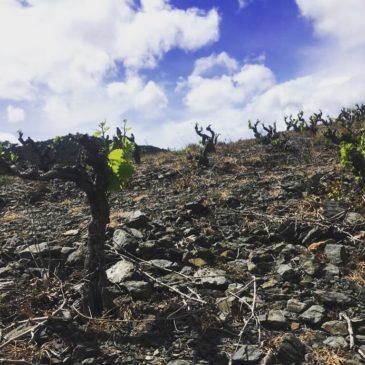 L'effet printemps 2019 dans nos vignes, ça donne quoi ?